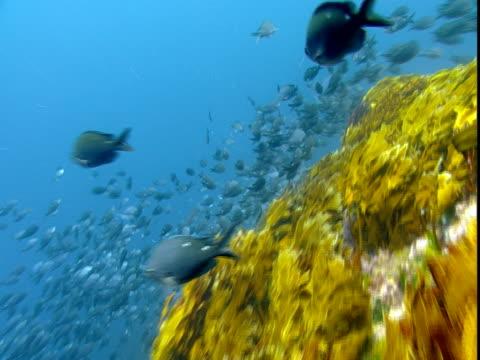 two-spot demoiselles swim next to bright yellow kelp in the ocean. - kelp stock-videos und b-roll-filmmaterial