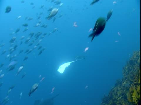 Two-spot demoiselles swim past an albino stingray in the ocean.