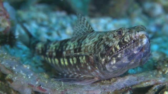 twospot lizardfish (synodus binotatus) front view, monad shoa, malapascua, philippines - lizardfish stock videos & royalty-free footage