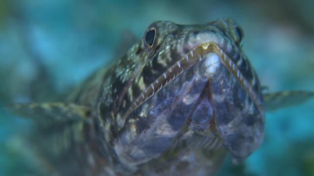 twospot lizardfish (synodus binotatus) front view cu, monad shoa, malapascua, philippines - respiratory machine stock videos & royalty-free footage