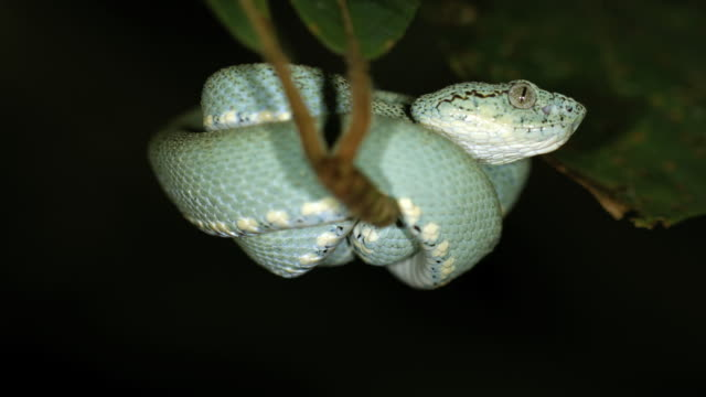 two-striped forest pitviper (bothriopsis bilineata) - toxic substance stock videos & royalty-free footage