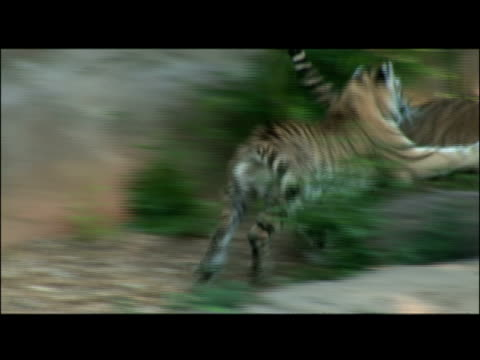 twp tigers wrestle and chase each other. - other stock videos & royalty-free footage