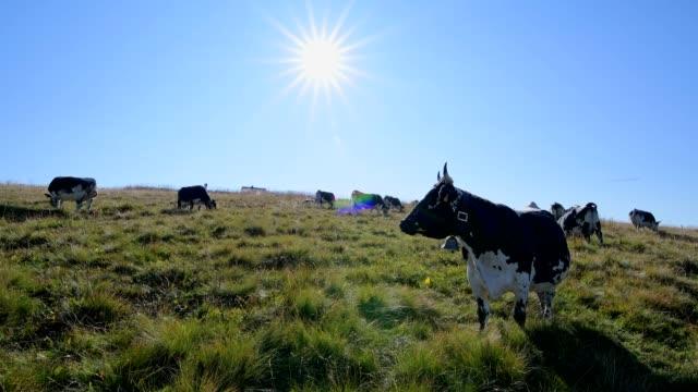 Typical cows on Vosges mountains, Le Hohneck, Stosswihr, Vosges, Haut-Rhin, France