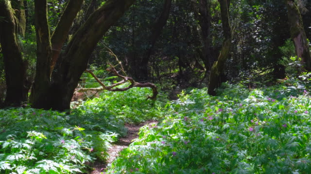 typical forest with echium vulgare in garajonay national park in la gomera / spain - wildflower stock videos & royalty-free footage