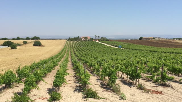 Typical Sicilian Vineyard Plantation, Sicily