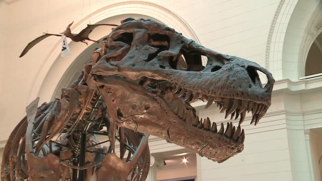 wgn tyrannosaurus rex skeleton sue at the chicago field museum on oct 6 2016 - 裁判点の映像素材/bロール