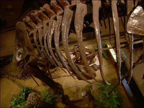 CU tyrannosaurus rex skeleton