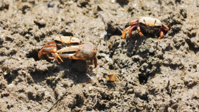 uca tangeri crabs - isla saltes near punta umbria, huelva. - huelva province stock videos & royalty-free footage