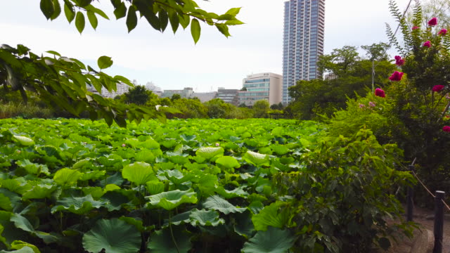 ueno park in tokyo - lake full of lostus plant - shinobazu pond stock videos and b-roll footage