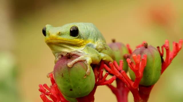 uganda tree frog - vergrößerung stock-videos und b-roll-filmmaterial