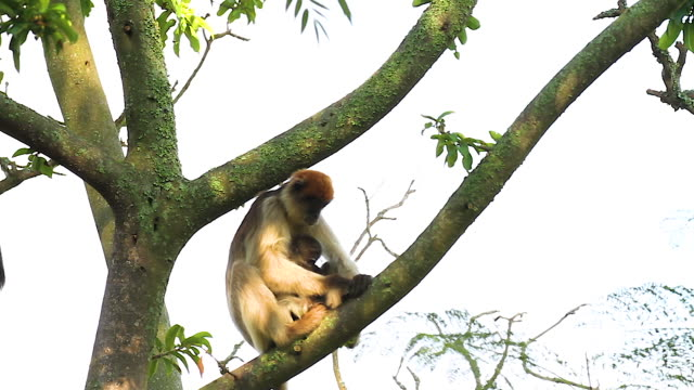 ugandan red colobus (procolobus tephrosceles) 5 - primate stock videos and b-roll footage