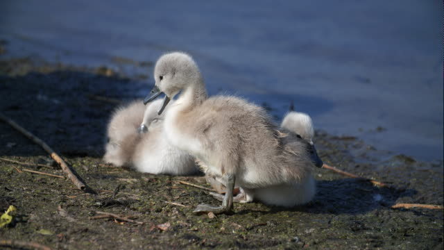 ugly duckling - cygnet stock videos & royalty-free footage