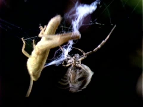 uloborus spider, mcu spider with grasshopper prey, england, uk - 捕らわれる点の映像素材/bロール