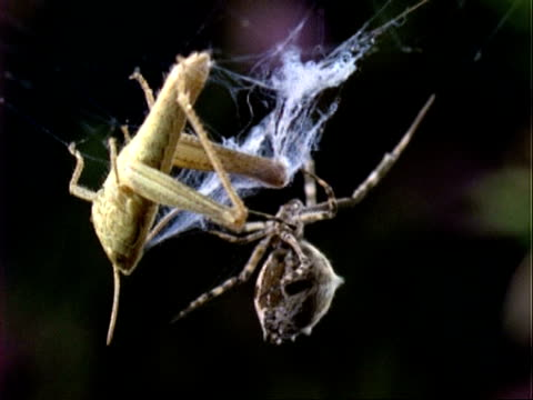 uloborus spider, mcu spider with grasshopper prey, england, uk - trapped stock videos & royalty-free footage