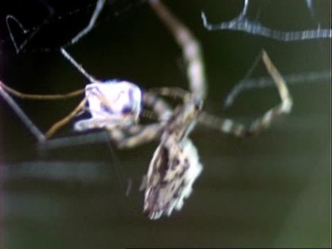 uloborus spider, cu spider wraps grasshopper prey in silk, england, uk - invertebrate stock videos & royalty-free footage