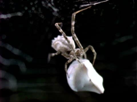 uloborus spider, cu spider wraps grasshopper prey in silk, england, uk - 捕らわれる点の映像素材/bロール