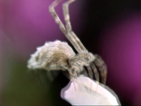 uloborus spider, cu spider wraps grasshopper prey in silk, england, uk - trapped stock videos & royalty-free footage