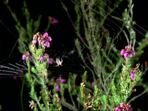 uloborus spider, wa spider on web, grasshopper falls onto web, spider moves in, england, uk - invertebrate stock videos & royalty-free footage