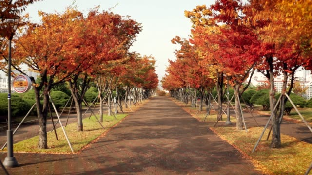 ulsan in autumn - maple leaf stock videos & royalty-free footage