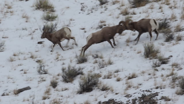 WS/SLOMO  Ultimate rutting video clip. 4 minutes of continuous fast paced action, perfectly panned. This clip epitomizes the bighorn sheep (Ovis canadensis) rut!