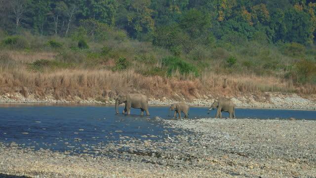 vidéos et rushes de vidéo ultra ralentie d'éléphants traversant la rivière ramganga dans le parc national de corbett - marécage