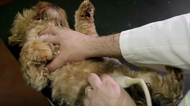 vídeos y material grabado en eventos de stock de examen médico de ultrasonido en el animal, demasiado lindo perrito - vibrisas