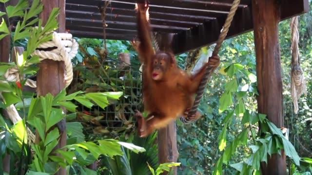 un bebe orangutan que fue drogado por un traficante ruso en un intento fallido de sacarlo de contrabando escondido en una maleta desde la isla... - trafficking stock videos & royalty-free footage