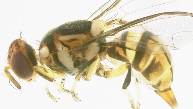 un brote de la mosca asiatica de la fruta podria causar millonarias perdidas a los agricultores de florida que desde septiembre puso en cuarentena un... - fruta stock videos & royalty-free footage