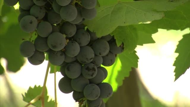 un enologo britanico aficionado a la astronomia creo en chile una variedad unica de vino, el 'cabernet sauvignon meteorito', un brebaje que segun su... - astronomia stock videos & royalty-free footage