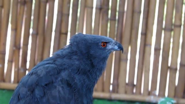 un estudiante de biologia protege la vida de cientos de aves rapaces mediante un centro de rehabilitacion que funciona en su casa en la ciudad de... - animal behaviour stock videos & royalty-free footage