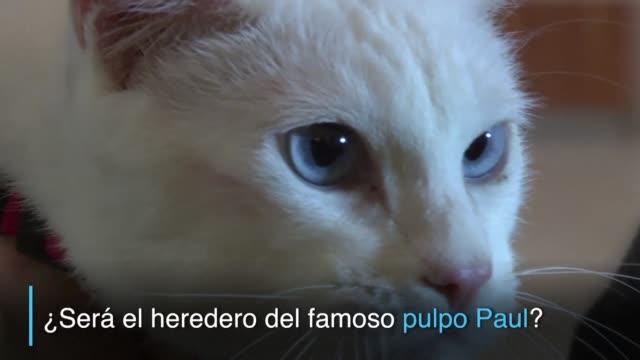 vídeos de stock, filmes e b-roll de un gato blanco que vive en el museo del hermitage de san petersburgo es el nuevo oraculo de la copa de las confederaciones - pulpo