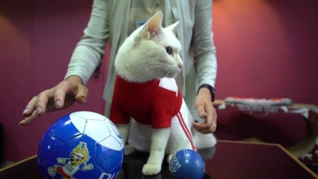 vídeos de stock, filmes e b-roll de un gato blanco y sordo designado como pronosticador oficial del mundial de futbol de rusia 2018 se prepara para su complicada mision en el torneo - pulpo