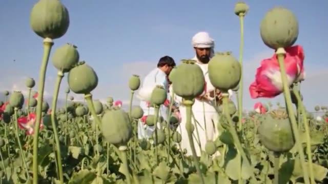 un informe de naciones unidas revela que el cultivo de amapolas crecera por tercer ano consecutivo en afganistan pais que ya produce el 90% del opio... - naciones unidas stock videos & royalty-free footage