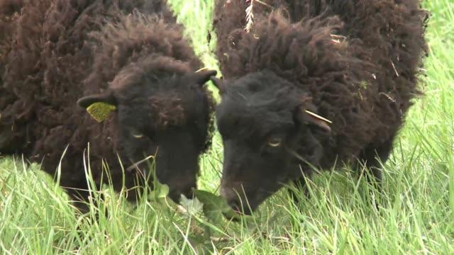 un pequeno rebano de ovejas seran utilizadas para cortar el cesped del 19 distrito de paris en un intento de buscar formas mas ecologicas de podar... - cesped stock videos and b-roll footage