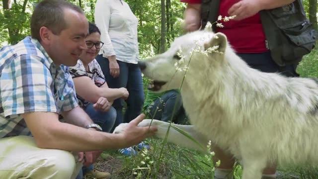 vídeos y material grabado en eventos de stock de un seminario cerca de viena ofrece pasar una jornada cara a cara con lobos a cambio de 650 euros - de lado a lado