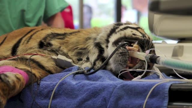 un tigre de sumatra de 120 kilos que vive en un zoologico de nueva zelanda fue sometido a un examen medico general por haberse comportado fuera de si... - examen stock videos and b-roll footage