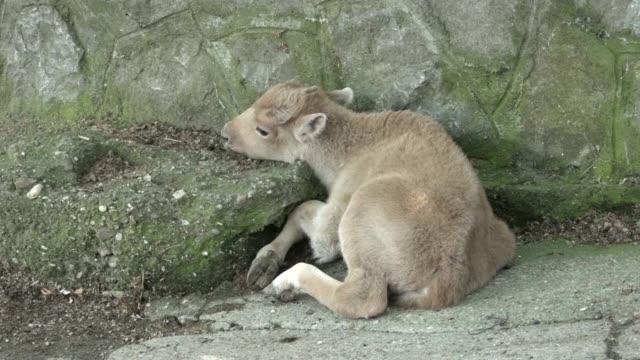 una cria de bisonte blanco americano dusanka nacio esta semana en el zoo de belgrado - bisonte americano stock videos and b-roll footage
