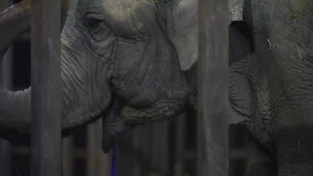 una elefante asiatica que paso decadas actuando en circos sudamericanos comenzo una nueva vida en un santuario al aire libre en brasil despues de... - aire libre stock-videos und b-roll-filmmaterial