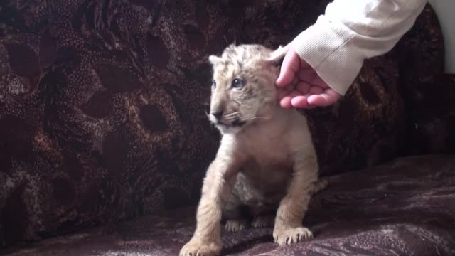 Una extrana cruza de un leon y una tigresa nacio hace dos meses en un zoológico al sur de Rusia