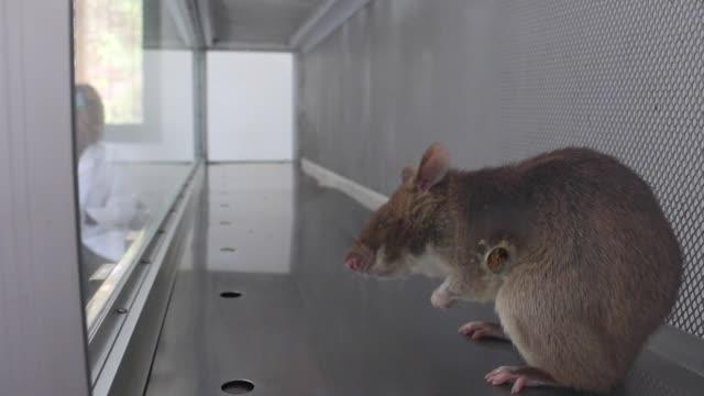 una ong ensaya en mozambique una tecnica que emplea ratas gigantes para detectar la tuberculosis en un pais donde en 2014 murieron 20000 personas por... - tubercolosi video stock e b–roll