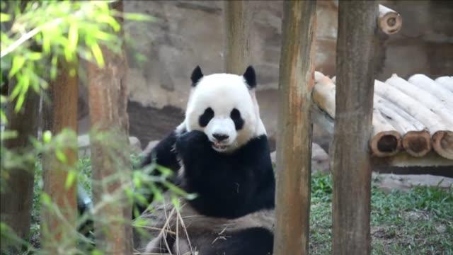 una pareja de pandas gigantes hace su primera aparicion publica en el zoo de kuala lumpur para conmemorar el 40 aniversario de las relaciones... - diplomacy stock videos & royalty-free footage