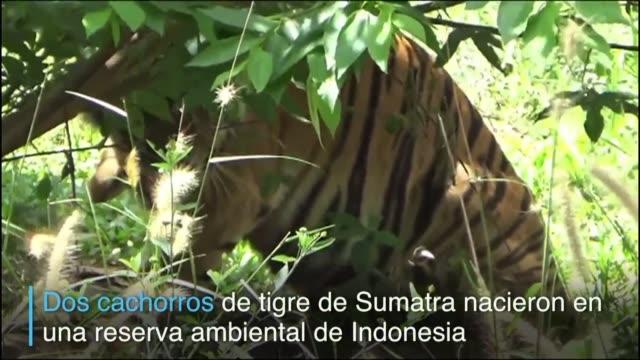 una tigresa de sumatra con parte de una pata amputada dio a luz a un par de cachorros en una reserva natural de indonesia - reserva natural stock videos and b-roll footage