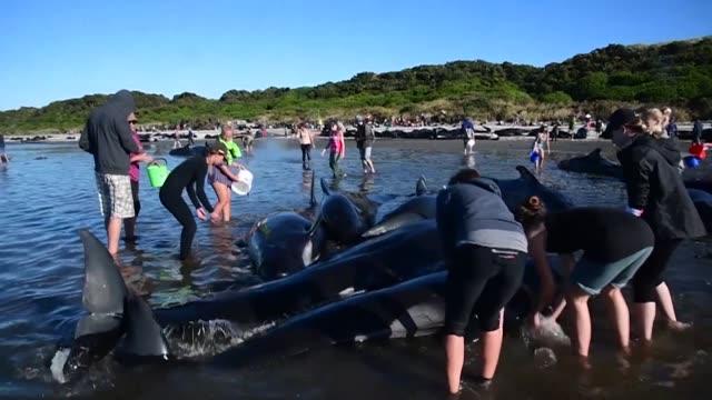 Unas 200 Ballenas Piloto Encallaron El Sabado En Farewell Spit Nueva Zelanda Pese A Los