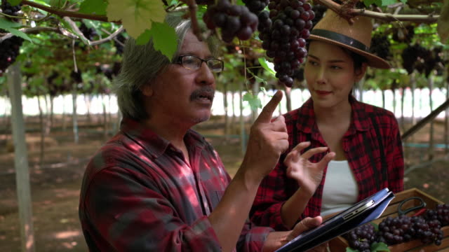 uncle talked with her granddaughter about checking grapes during the vintage. - winemaking stock videos & royalty-free footage