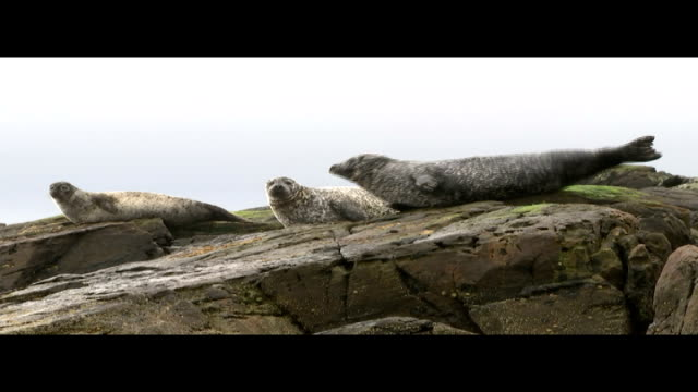rspca under fire for supporting the shooting of seals in scottish seas scotland shetland islands ext seals basking on rocks seal climbing from the... - rspca stock-videos und b-roll-filmmaterial