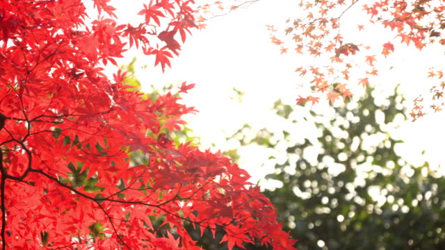 under red vivid maple leaves with sunlight - maple leaf stock videos and b-roll footage