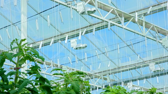 Under the roof of modern tomato greenhouse