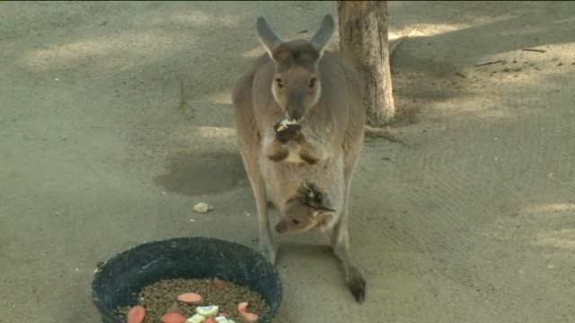 under the shade of the eucalyptus trees on march 12 two western gray kangaroo joeys, born in june of 2014. the joeys, both born to first time... - カンガルーの子点の映像素材/bロール