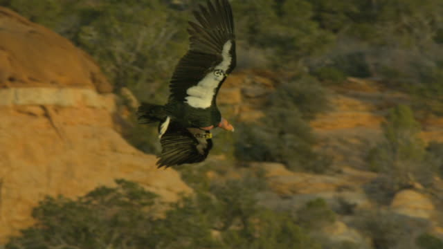 underbelly of california condor as it glides with spread wings - california condor stock videos and b-roll footage