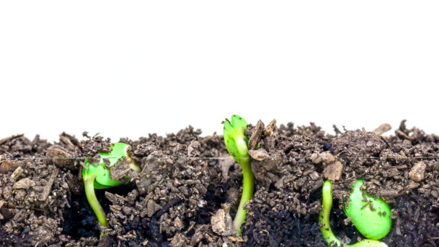underground and overground view of three soybeans growing from sprouts, shot against a white background. - seedling stock videos and b-roll footage